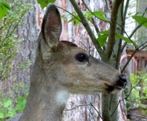 DeerMugshot
